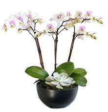 orchids for sale orchids arrangements for sale fijc info