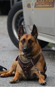 belgian shepherd quebec a belgian malinois with the international police work dog