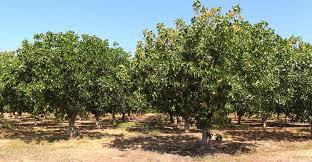 chill hours botryosphaeria now heavy hitters on pistachio radar