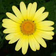 argyranthemum wikipedia