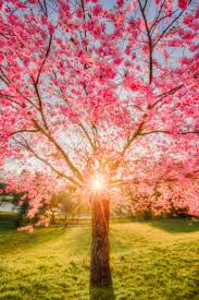 75 best cherry blossom madness images on pinterest spring