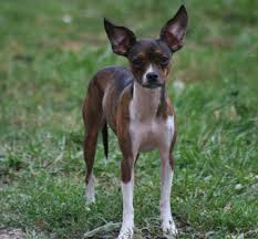 different breeds of dogs deer head chihuahua different breeds