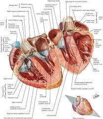 Anatomy Of Heart Valve Cardiac Anatomy Physiolgy And Imaging Modalities Radiology Key