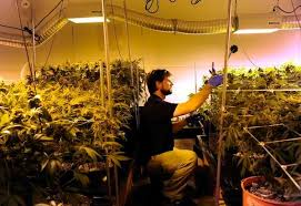 marijuana the truth about growing your own pot u2013 the denver post