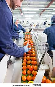 food processing quality control technician quality control worker examining tomatoes on production line in