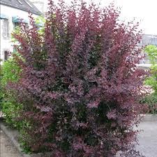 fleurs vivaces rustiques arbustes et vivaces pour haies basses plantes et jardins