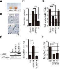 Flag Complex The Hbo1 Brd1 Brpf2 Complex Is Responsible For Global Acetylation