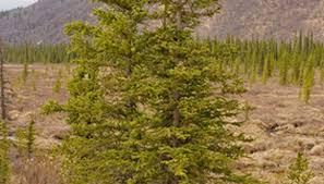 cedar trees garden guides
