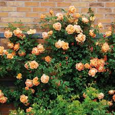 english rose climbing collection 3 roses