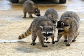 raccoons in the basement