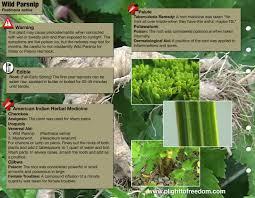 native edible plants wild parsnip edible medicinal u0026 cautions plight to freedom
