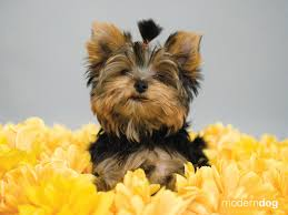 Dog Wallpapers Yorkshire Terrier Dog Wallpapers Fwp635 Hd Quality Wallpapers For