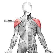 Muscle Anatomy Of Shoulder Deltoid Muscle Wikipedia