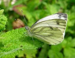 white butterfly insect britannica com