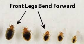 What Does Bed Bugs Eggs Look Like Bed Bug Pictures Zappbug