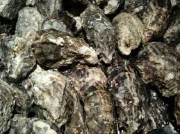 """""""Oyster reefs"""