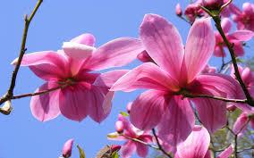 Magnolia Wallpaper Fragrant Wood Magnolia Pink Flowers Wallpaper Widescreen Hd
