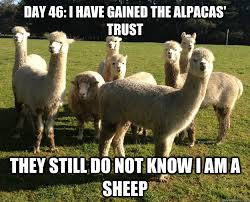 Alpaca Sheep Meme - day 46 i have gained the alpacas trust they still do not know i