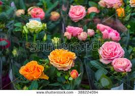 Roses For Sale Rose Pot Stock Images Royalty Free Images U0026 Vectors Shutterstock