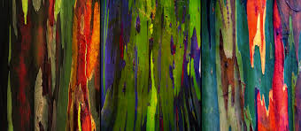 living rainbow rainbow eucalyptus most beautiful tree bark on