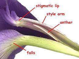 style flower the iris flower