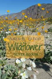 anza borrego wildflowers super bloom diane uke shares