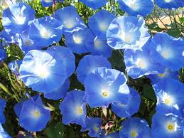 67 best morning glories images on pinterest morning glories