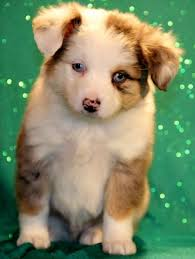 australian shepherd dog for sale best 25 aussie puppies for sale ideas on pinterest mini aussie