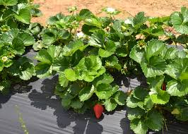 Strawberry Plant Diseases - spring rains increase strawberry diseases mississippi state