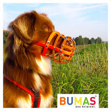 4 australian shepherd x dalmation bumas muzzle australian shepherd brown black bumas shop for
