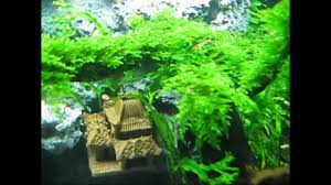 Aquascape Moss Aquascape Taiwan Moss Tree My Beauty Aqua Bonsai Youtube