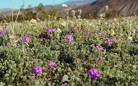 Flowers Anza Borrego Anza Borrego Desert State Park U0027s 2017 Super Bloom Is Well Worth