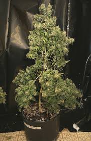northern lights yield indoor dr atomic atomic northern lights indica freedomofseeds