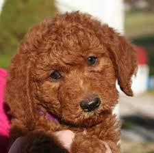 goldendoodle puppy virginia goldendoodle and labradoodle puppies of yesteryear acres