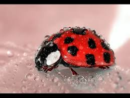 How To Find Ladybugs In Your Backyard What Do Ladybugs Eat Facts About Ladybugs Youtube