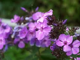 phlox flower phlox blue paradise perennial pleasures nursery phlox specialists