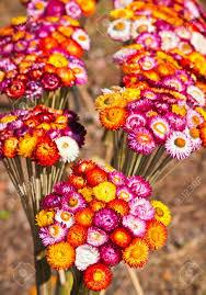 straw flowers bouquet of straw flower or everlasting helichrysum bracteatum
