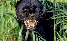 wallpaper black tiger hd desktop hd wallpapers free downloads angry black panther hd wallpapers