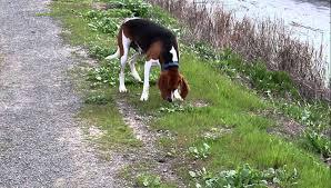 bluetick coonhound dander treeing walker coonhound youtube