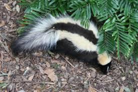file striped skunk florida jpg wikimedia commons