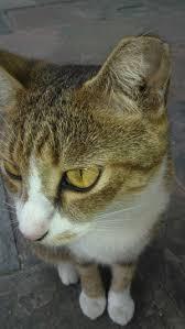 hukum memandulkan kucing sudah ber kb kah kucing anda oleh acik mdy kompasiana com