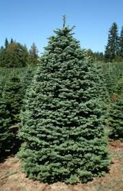 balsam fir christmas tree 7 5 8 ft noble fir trees green valley christmas trees