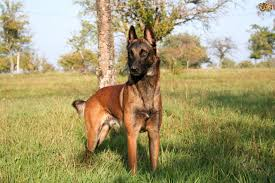 belgian shepherd or malinois belgian shepherd dog dog breed information buying advice photos
