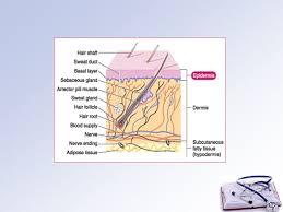 Human Anatomy Integumentary System Human Anatomy Integumentary System Unit 6 3 Pgs Ppt Download