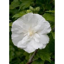 White Flowering Shrub - proven winners 3 gal white chiffon rose of sharon hibiscus live