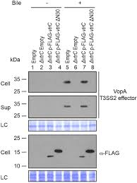 Flag Tag Dna Sequence Bile Salt Receptor Complex Activates A Pathogenic Type Iii