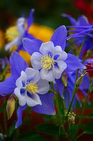 columbine flowers best 25 columbine flower ideas on blue flower names