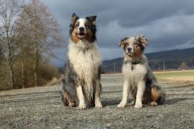 australian shepherd jump height i want to hear about your dogs what are their names what breed