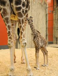 Denver Zoo Of Lights by Dobby Denver Zoo U0027s Baby Giraffe 11alive Com