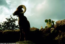 rams facts about male bighorn sheep